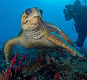 marine turtle, scuba diver and reef