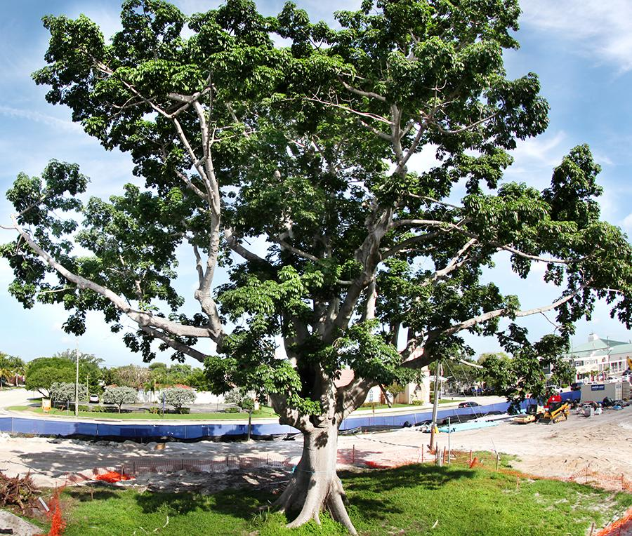 100+-year_old Kapok Tree